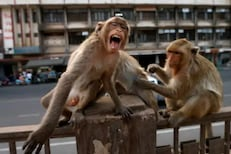 In the Fight Between Himachal Pradesh Govt and Farmers, Monkeys are the Real Winners