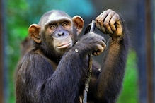 Humans Can Understand What Chimpanzees are Saying, Finds New Study