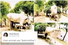 Twitter Mesmerized by Dedication of 'Atmanirbhar' Bull Pulling its Own Cart in Viral Video