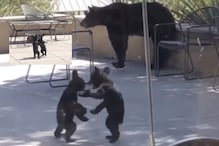 WATCH: Adorable Bear Cubs Wrestling it Out as Mother Looks On is All Kinds of Relatable