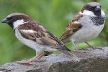 Why Canadian Sparrows Have Changed Their Signature Tune From Three Notes to Two