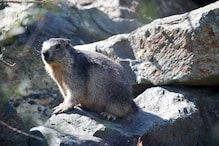 Chinese City Sounds Alert For Bubonic Plague, Officials Warn Against Eating Marmot Meat