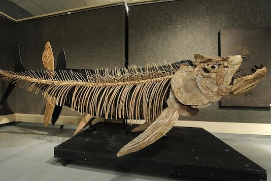 The fossilized remains of this Xiphactinus - similar to the one found in Argentina - was discovered in the US state of Kansas and sold at auction in 2010. Credits: AFP.