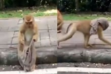 Watch: Monkey Makes a 'Face Mask' and Walks around Wearing It in Hilarious Video