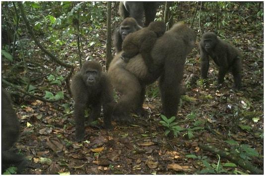 Cross River gorillas as seen on June 22, 2020 in Nigeria's Mbe mountain | Image credit: AP
