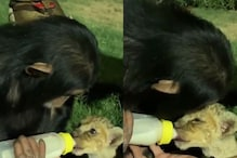 Watch: Chimpanzee Turns into 'Foster Mother' and Feeds Milk to Cub from Feeding Bottle