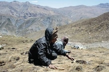 Chinese Traditional Medicine 'Himalayan Viagra' at Risk of Extinction Due to Overharvesting