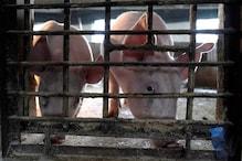 China's Pork Supply Goals Hit as Floods Blamed For Fresh African Swine Fever Outbreaks