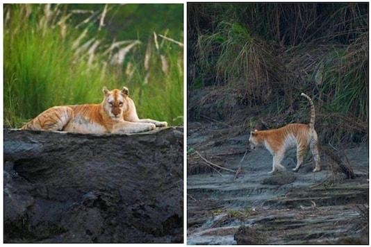 Rare golden tiger spotted in Kaziranga goes viral | Image credit: Twitter/Mayuresh Hendre