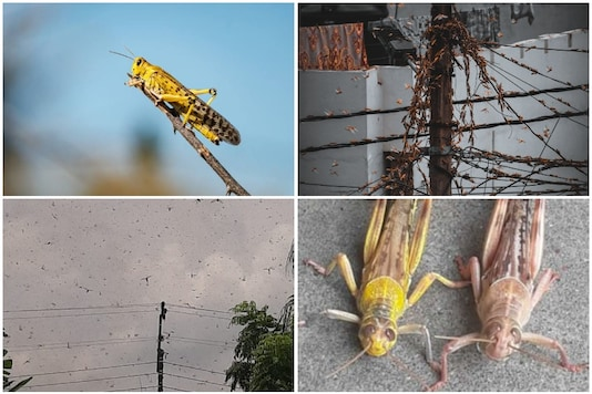 Locusts swarmed several locations in Lucknow after swarming other districts in Uttar Pradesh | Credit: Twitter