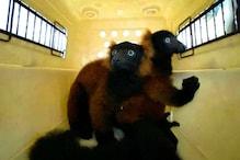Rare Red-Ruffed Lemur Twins Born in Singapore Zoo, First Birth in 11 Years