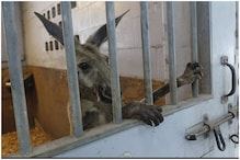 Touristy Kangaroo Put Behind Bars After Cops Catch Him Hopping About in Florida, US