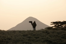 Camel in China Walks Over a Hundred Kilometres to Reunite With its Previous Owner
