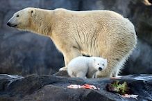 Climate Change Could Wipe out Polar Bears by 2100, Shows Study