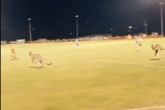 Football match getting disrupted by a pair of kangaroos. Credits: AFL
