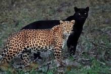 Photos of Black Panther and Leopard Couple Chilling in Kabini Forests of Karnataka Go Viral
