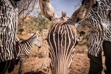 Keepers of Orphaned Zebra Dress up in Animal-print Costumes to Play Surrogate Mom to Foal