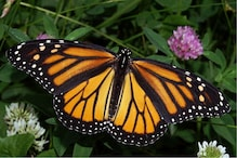 No Genetic Difference Between Eastern and Western Monarch Butterflies, Say Biologists