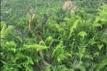 Viral Video of Two Rat Snakes Locked in Fierce Battle Will Leave You Biting Your Nails