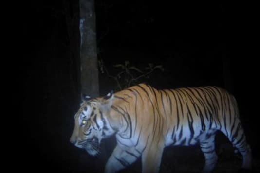 A tiger is pictured from a camera trap from the western forest of Thailand, in this undated handout photo obtained by Reuters in July 28, 2020.