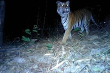 WATCH: Footage of Endangered Tigers Captured First Time in Four Years in Thailand