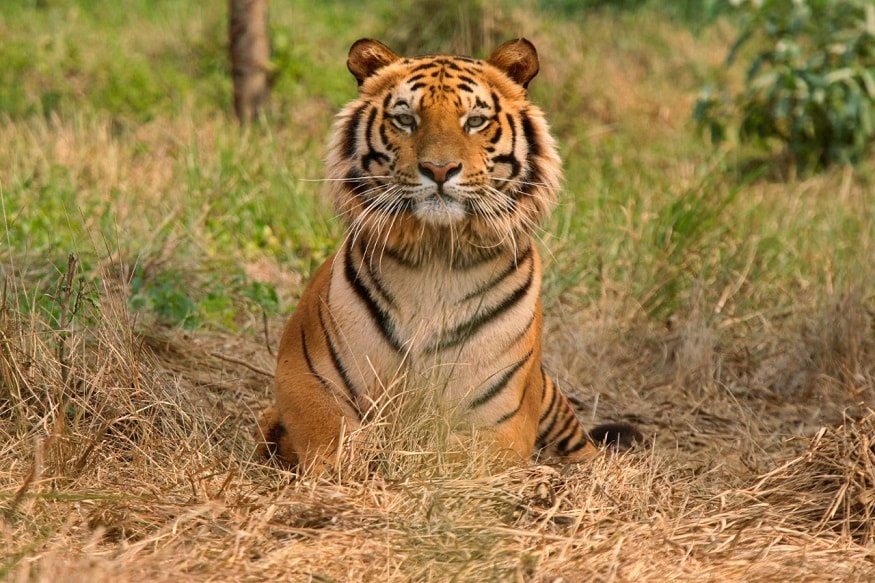 Over a Third of India's Big Cats Reside Outside Tiger Reserves in Forest Divisions, Sanctuaries: Report