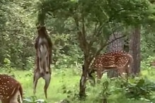 WATCH: Viral Video Of Deer Standing On its Hind Legs To Eat From a Very Tall Tree