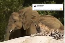 Not Only Us, Even a Leopard 'Loves' Watching a 'Majestic' Elephant Feed on Tree