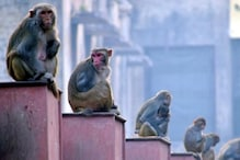 1,000 Men Deployed in Ayodhya to Shoo Away Monkeys at Temple Site