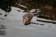 Wild Beavers That Were Feared to Spread Disease Have Been Allowed to Legally Stay in England