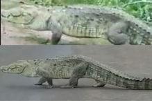 Crocodile Casually Walks on Madhya Pradesh Highway, Video of Reptile's Outing Goes Viral