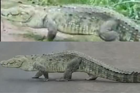 Corcodile walking on the Highway in MP. Credits: Twitter