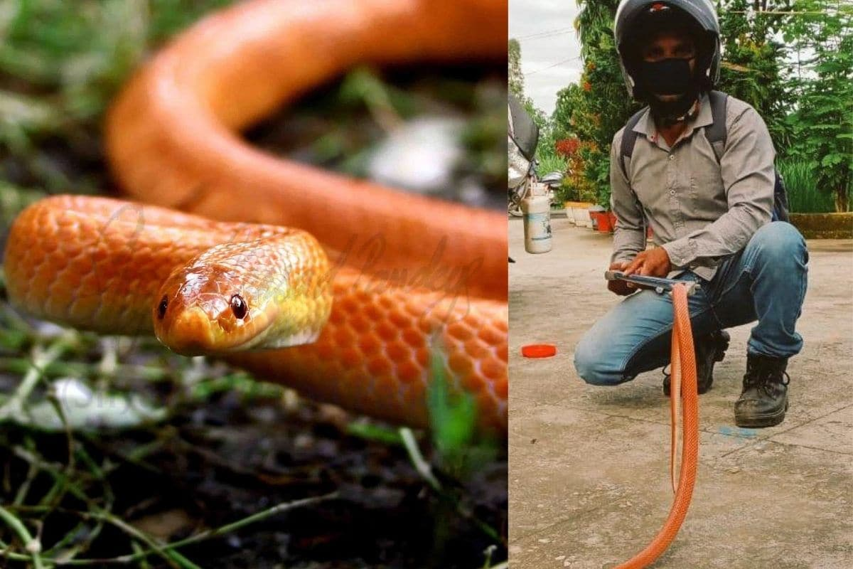Rare' Red Coral Kukri Snake Rescued from Residential House in ...