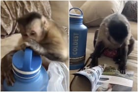 Viral Video of Monkey Unboxing Gift and Reading Instructions Manual Leaves Twitter In Splits