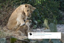Lioness and Cub Caught in 'Serious' Moment Launch Guessing Game about What They May be Saying