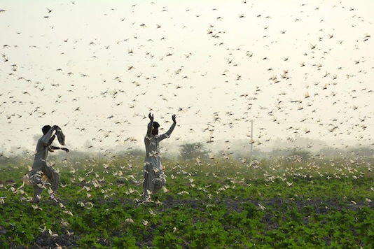 Locust Control Operations Carried out in 2.76 lakh Hectares across 10  States Since April: Govt