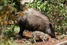 Will Boar, Her Babies May Get Culled For Stole German Nudist's Laptop