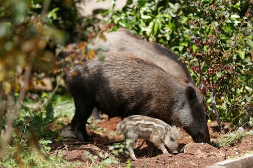 Wild boars roam next to a residential building after the government ordered residents to stay home to fight the spread of coronavirus disease COVID-19. (Representative Image: Reuters)