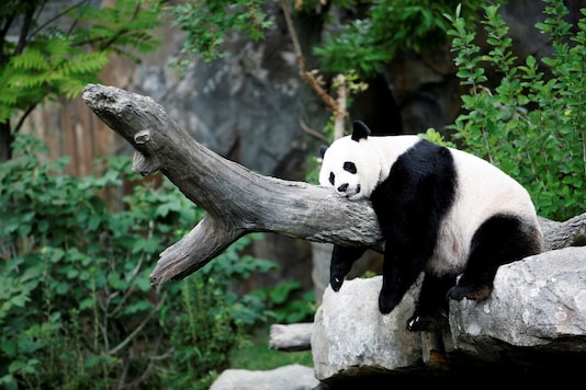 FILE PHOTO: Giant panda Mei Xiang enjoys her afternoon nap at the National Zoo in Washington on August 23, 2007. REUTERS/Kevin Lamarque/File Photo