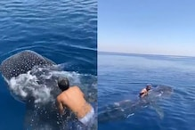 Saudi Stunt Man Jumps on Rare Whale Shark and Rides on its Fin, Viral Video Sparks Criticism
