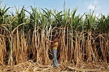 Cabinet Okays Increase in Sugarcane FRP by Rs 10 to Rs 285 Per Quintal for 2020-21