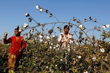 India Expects to Sell 1.5 Million Bales of Cotton to Bangladesh to Cut Record Closing Stock: CCI CMD