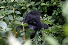 Gorillas, Orangutans, Whales Run a High Risk of Contracting Covid-19, Finds New Study