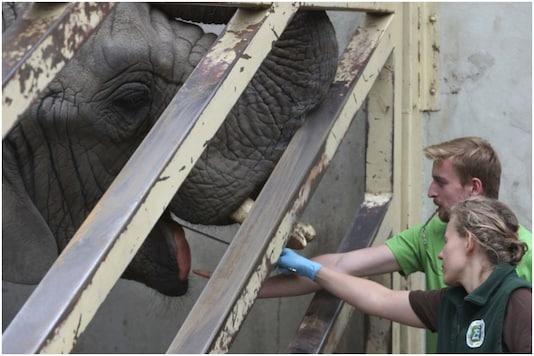 Zookeepers at Warsaw Zoo are testing the effects of CBD oil on managing stress of elephants in captivity | Image credit: AP