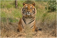 Quackery and Superstition Drove 3 Men to Behead a Dead Tiger at Panna Reserve, Probe Reveals