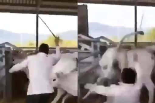 Video grab of calf kicking man.  (Credit: Twitter/ Susanta Nanda)