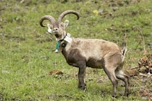 Wiped Out Long Back, Endangered Ibex are Gaining Foothold in French Pyrenees