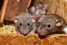 Woman Bites Husband's Penis after He Fails to Scare Off a Rat in Zimbabwe