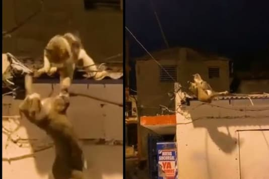 Video grab of cats fighting that is reminding netizens of Lion King scene. (Credit: Facebook)