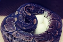 62-Year-Old Python in US Zoo Lays Seven Eggs Despite Not Being Near a Male in Decades